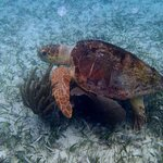 Giant turtle on snorkeling trip