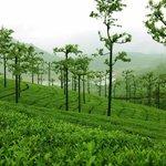 Greenish with tea plants