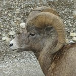 Bighorn sheep after the cruise, on way to Maligne Canyon