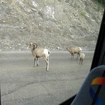 A group of Bighorn sheep spotted on the road