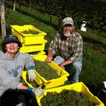 Grape Harvest Time