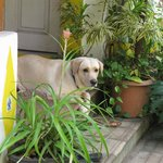 Feni the lovable labrador