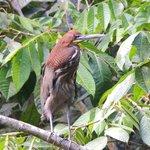 Red Heron