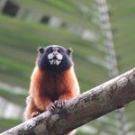 Tamarind Monkey
