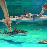 Shark-petting pool
