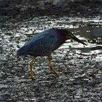 Green Heron - North Chagrin