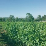 Our vineyard