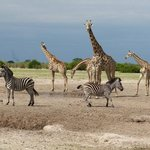 anyone know the collective noun for four giraffes and two zebra?