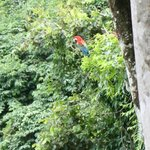 One of the beautiful macaws near the clay lick