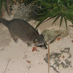 a friendly raccoon we saw outside the Brazilian restaurant in the 5 star resort!!