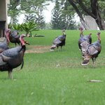Huge wild turkeys on the grounds