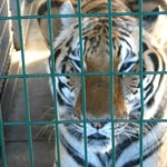 Close-up of a tiger at Big Cat Habitat!