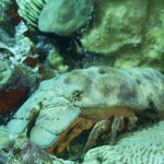 Slipper lobster on dive
