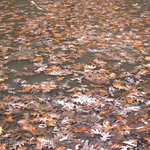 Leaves  frozen in ice