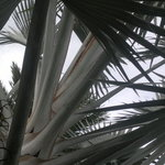 Silver Palm in BBC