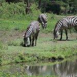 zebras in the sanctuary