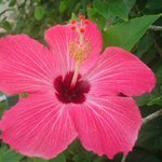 Beautiful Hibiscus flowers everywhere