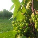 Grape cluster at Domaine de Grande Pre, Nova Scotia