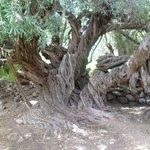 Olivo de más de 300 años
