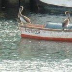 Pelikaner på båt.