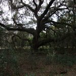 Great stately oaks along the Lake trail