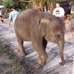 Ya Ya the baby elephant