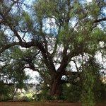 huge pepper ridge tree