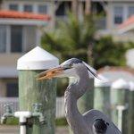Resident Blue Heron