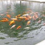 Koi fish pond