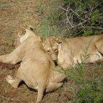 leoni con la preda
