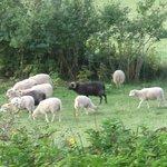 Teil der Schafherde, die zum Haus gehört