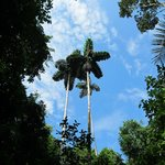 Blue sky and tall palms in the jungle
