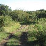 On a gamedrive - a leopard