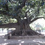 Rubber Tree that is over 200 years old