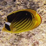 Masked butterflyfish, spotted in front of hotel