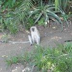 Velvet monkey 2