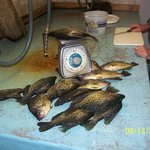 Opps here the same batch of Crappie, nice huh...