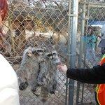 Feeding the Raccoons