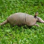 An armadillo decided to go for a stroll across the garden.