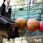 a young flying fox is chewing on an apple