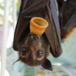 baby flying fox with pacifier