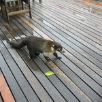 "This is a coati- likes ""Happy Hour"""