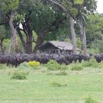 Wildebeest December 2012