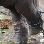 Baby calf, look at the pink legs where the chains have cut his other leg.