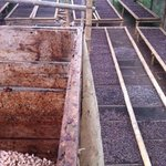 cocoa beans drying and fermenting