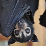 Spectacled flying fox baby