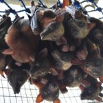 Little red flying foxes rescued off barbed wire
