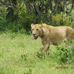 Lioness coming from kill