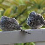 Friendly zebra doves on my lanai