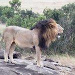 in2kenya Lion